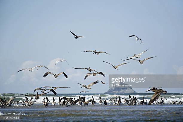 Flock of Brown Pelicans taking flight, Canon Beach, Oregon, USA