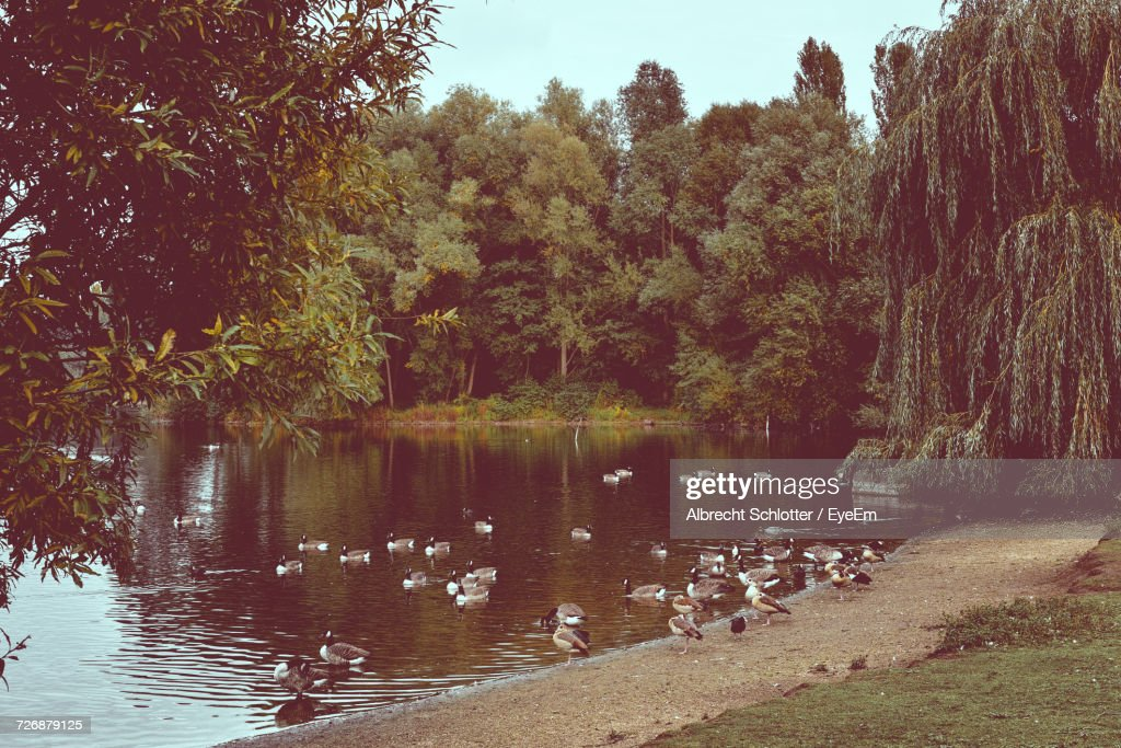 Flock Of Canada Geese At Lakeshore Against Trees : Stock Photo