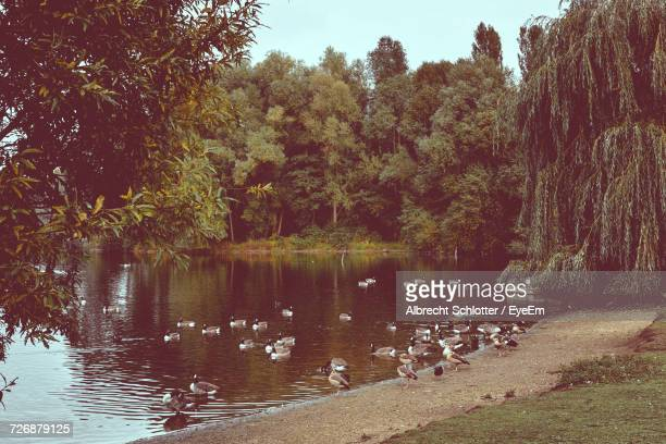 flock of canada geese at lakeshore against trees - albrecht schlotter stock photos and pictures
