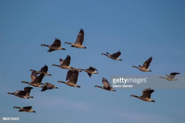 flock of canada geese (branta canadensis), british columbia, canada - kanadagans stock-fotos und bilder