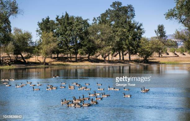 A flock of Canada geese float on a vineyard irrigation pond on September 18 near Sebastopol California A cool spring and mild summer have contributed...