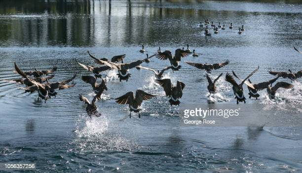 A flock of Canada geese fly into a Russian River Valley vineyard pond on September 21 near Healdburg California A cool spring and mild summer have...