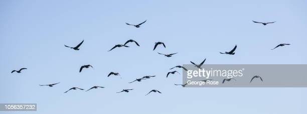 A flock of Canada geese fly over a Russian River Valley vineyard on September 21 near Healdburg California A cool spring and mild summer have...