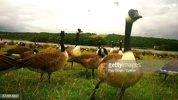 flock of canada geese on grass against sky at rother valley country park - kanadagans stock-fotos und bilder