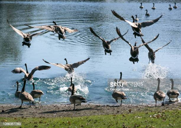 A flock of Canada geese take off from a Russian River Valley vineyard pond on September 21 near Healdburg California A cool spring and mild summer...