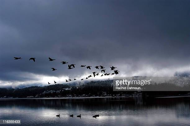 a flock of canadian geese fly over lake whatcom in v formation during a storm; bellingham, wa - birds flying stock photos and pictures