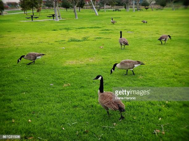 A flock of Canadian geese gathered at the park.