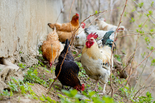 A flock of chickens roam freely in a lush green paddock 1251158765