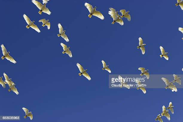 Flock Of Cockatoos Flying Against Clear Blue Sky
