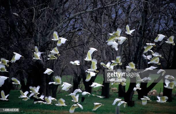 Flock of cockatoos take flight near Jugiong.