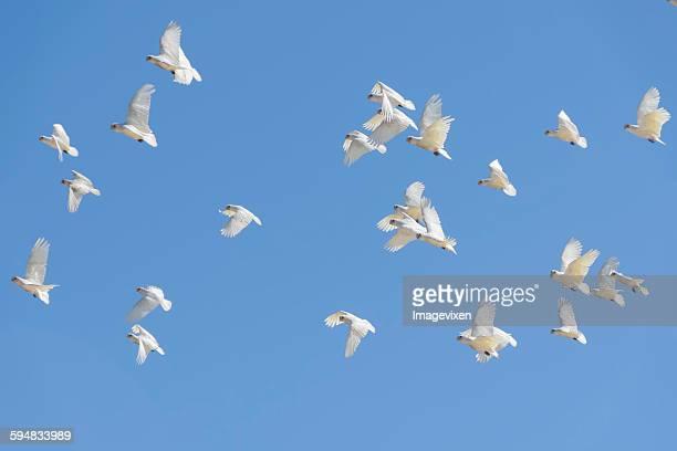 Flock of Corella birds  in  flight, Australia
