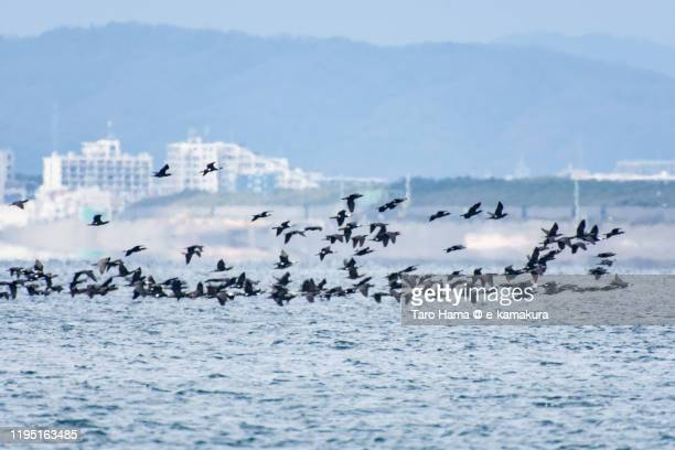 flock of cormorants flying on the beach in kanagawa prefecture of japan - 平塚市 ストックフォトと画像