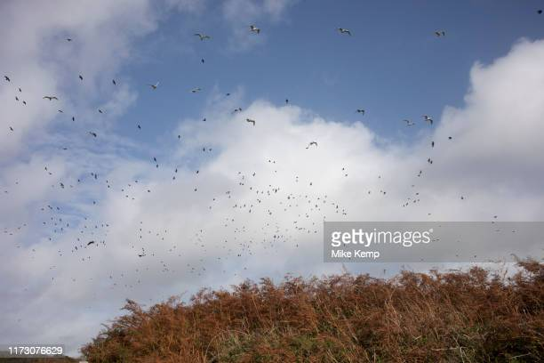 Flock of crows and seagulls at St Davids Head near St Davids Pembrokeshire Wales United Kingdom