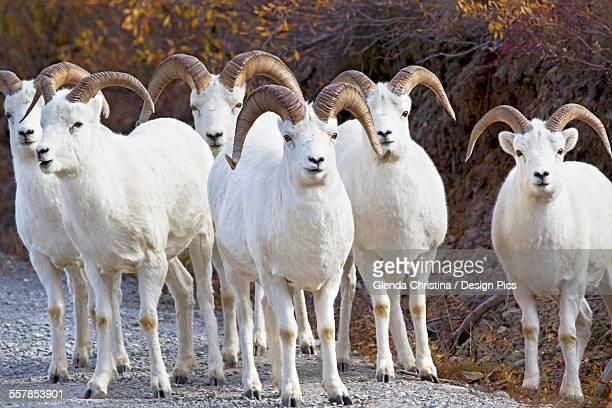 a flock of dall sheep (ovis dalli) at denali national park in autumn - christina grosse stock-fotos und bilder