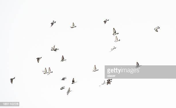 Flock of doves