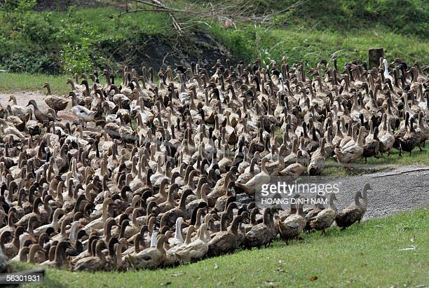 A flock of ducks makes its way to a rice field in the central province of Quang Ngai 28 November 2005 One wonders how birdflu hit Vietnam can deal...