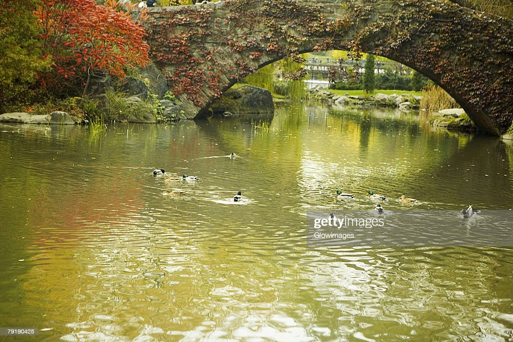 Flock of ducks swimming in water, Central Park, Manhattan, New York City, New York State, USA : Foto de stock