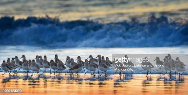 flock of dunlin at sunrise as wave washes to shore at jones beach - wader bird stock photos and pictures