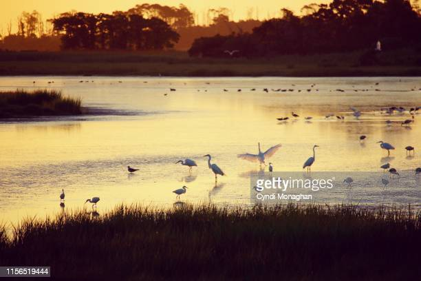 Flock of Egrets and Herons in the Marsh at Dawn