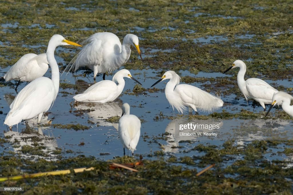 Flock of Egrets Feeding : Stock-Foto
