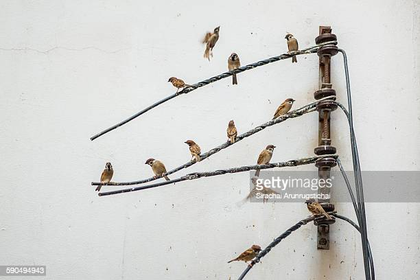 A flock of Eurasian Tree Sparrow perch on wires
