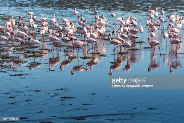 flock of flamingo birds in the sea, taken from walvis bay, swakopmund, namibia, africa - walvis bay stock photos and pictures