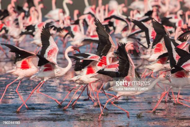 flock of flamingo birds on shallow water - walvis bay stock photos and pictures