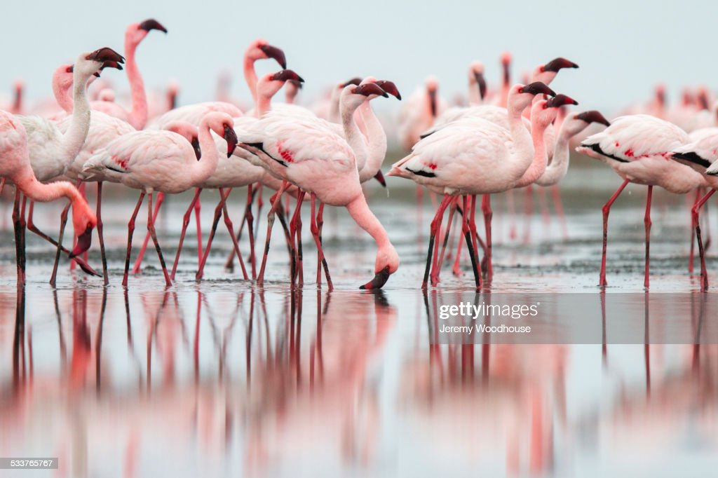 Flock of flamingoes standing in still water on beach : Foto stock
