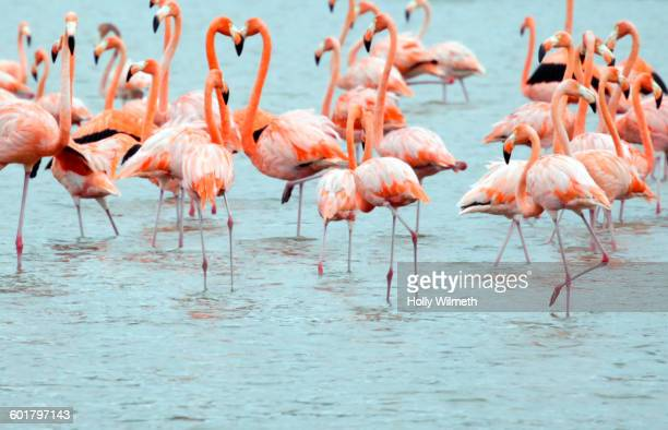 flock of flamingoes wading in water - flamingo stock photos and pictures