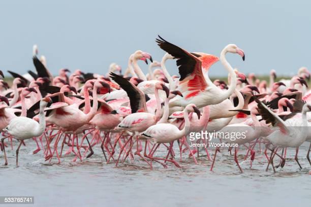 flock of flamingoes walking on beach - omnívoro fotografías e imágenes de stock