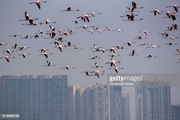 Flock of Flamingos fly inside Thane Thane Creek on February 1 2018 in Mumbai India