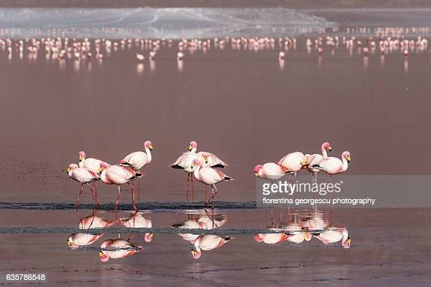 A flock of flamingos on Laguna Colorada, Reserva de Fauna Andina Eduardo Avaroa, Bolivia