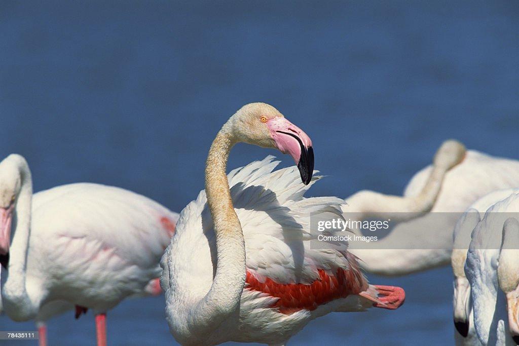 Flock of flamingos : Stock Photo