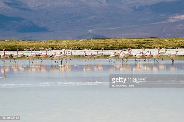 Flock of flamingos, Salar de Surire, Chile