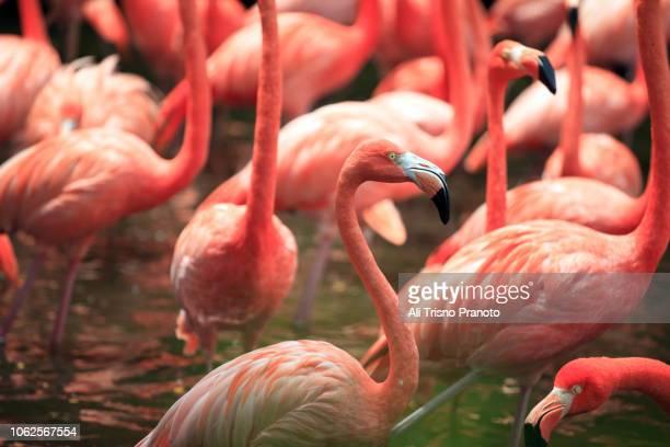 flock of flamingos, singapore - jurong bird park stock pictures, royalty-free photos & images