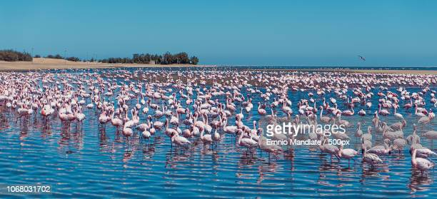 flock of flamingos standing the water under clear sky - walvis bay stock photos and pictures