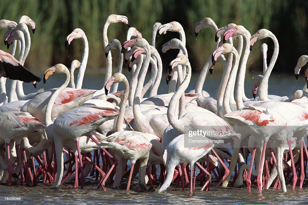 Flock of flamingos wading , France : Stockfoto