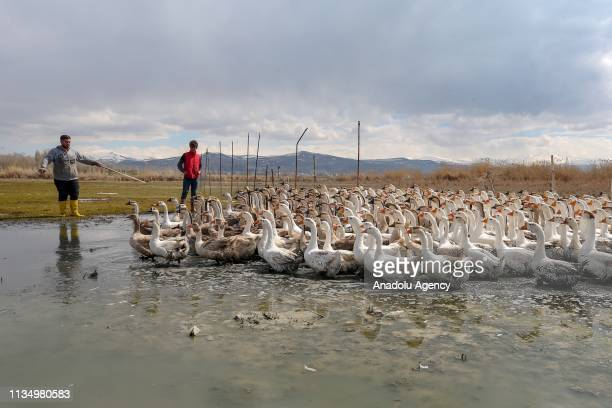 A flock of geese are seen at a farm in Ipekyolu district of Turkey's eastern Van province on April 4 2019