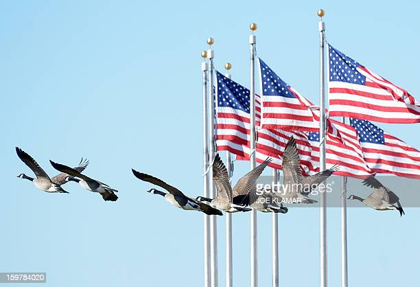 A flock of geese fly by flags near the Washington Monument on January 20 2013 in Washington AFP PHOTO / JOE KLAMAR