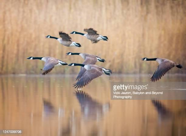 flock of geese in magical flight over golden pond in pennsylvania - 野生動物 ストックフォトと画像