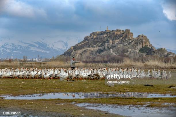 A flock of geese is tended to at a farm in Ipekyolu district of Turkey's eastern Van province on April 4 2019