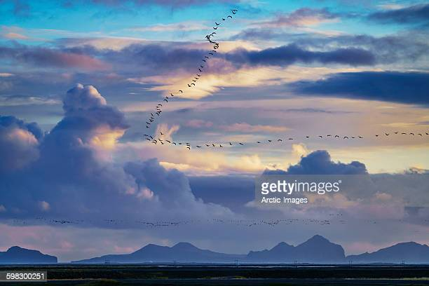 Flock of Geese over open landscape, Iceland