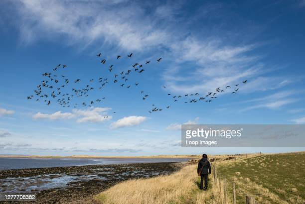 Flock of geese takes off in Holy Island against the blue sky while a woman looks on.
