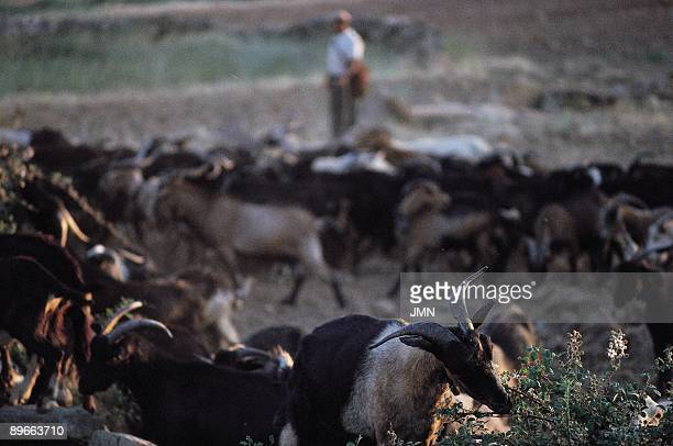 Flock of goats A shepherd takes care of a flock of sheep while they pasture Almendra Zamora province