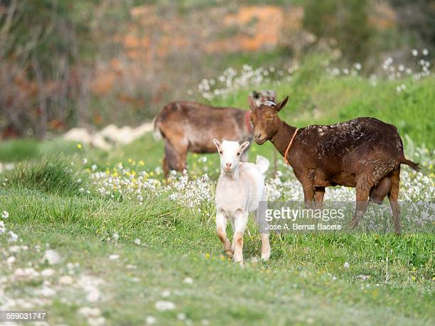 Flock of goats in a field of flowers