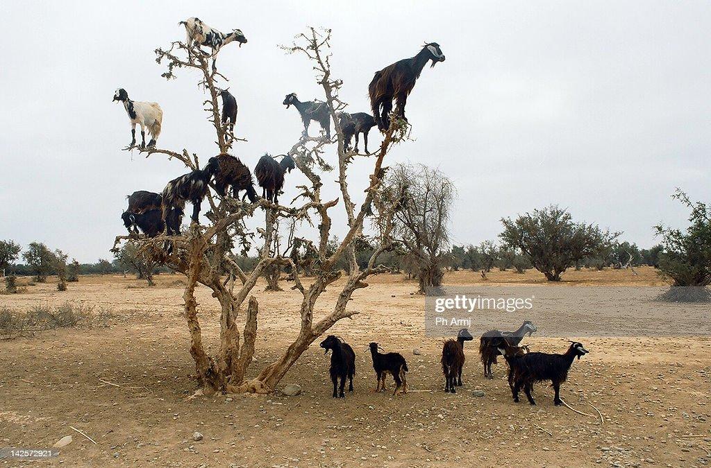 Flock of goats : Stock Photo