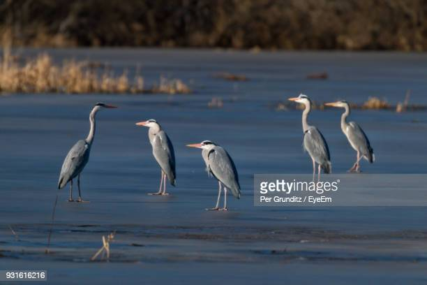 flock of gray heron by lake - per grunditz stock pictures, royalty-free photos & images
