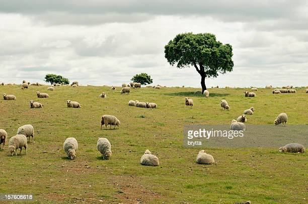 flock of grazing sheep in alentejo region of portugal - cork tree stock photos and pictures