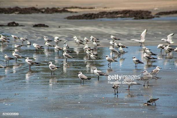 flock of grey-headed gulls in gunjur beach, gambia - gambia stock photos and pictures