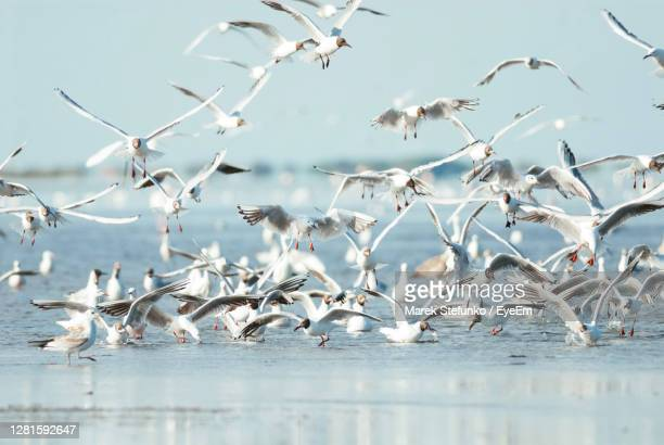 flock of gulls in camargue - marek stefunko stock pictures, royalty-free photos & images